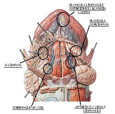 Mucocele en glándulas de Blandin-Nuhn o glándulas linguales ...